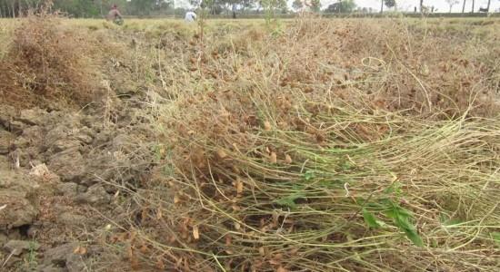 ঝিনাইদহে মসুরির বাম্পার ফলন হলেও দাম কম হওয়ায় হতাশ কৃষক