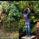 শ্রমিক সংকটে গরীব কৃষকের লিচু ভেঙে দিলো ঝিনাইদহ সরকারি কেসি কলেজ ছাত্রলীগ